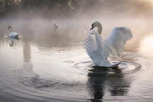 Mute swan (Cygnus olor) stretching wings